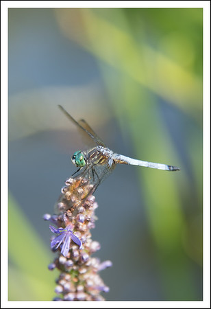 A dragonfly I spotted between twin pictures.
