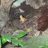 tiny tiny poisin dart frogs