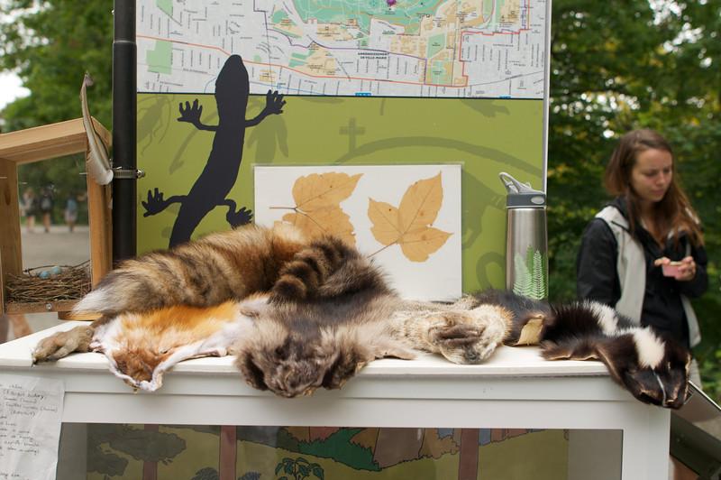 Chipmunk, fox, raccoon, groundhog and skunk pelts - AKA city wildlife