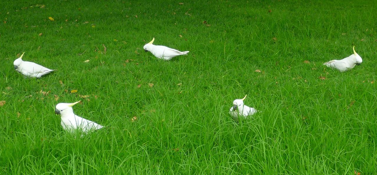 Sidney - Botanical Gardens - Cockatoos everywhere