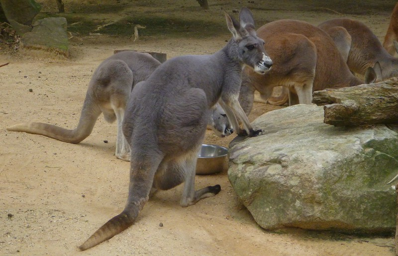 Sydney - Taronga Zoo - We heard that Australia was overrun with Kangaroos but these are the only ones we saw.