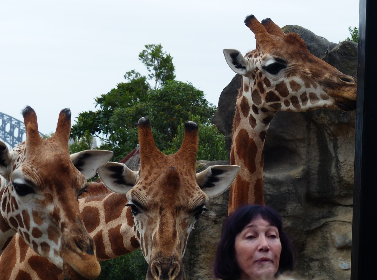 Sydney - Taronga Zoo - This is what it is like to be surrounded by giraffes.