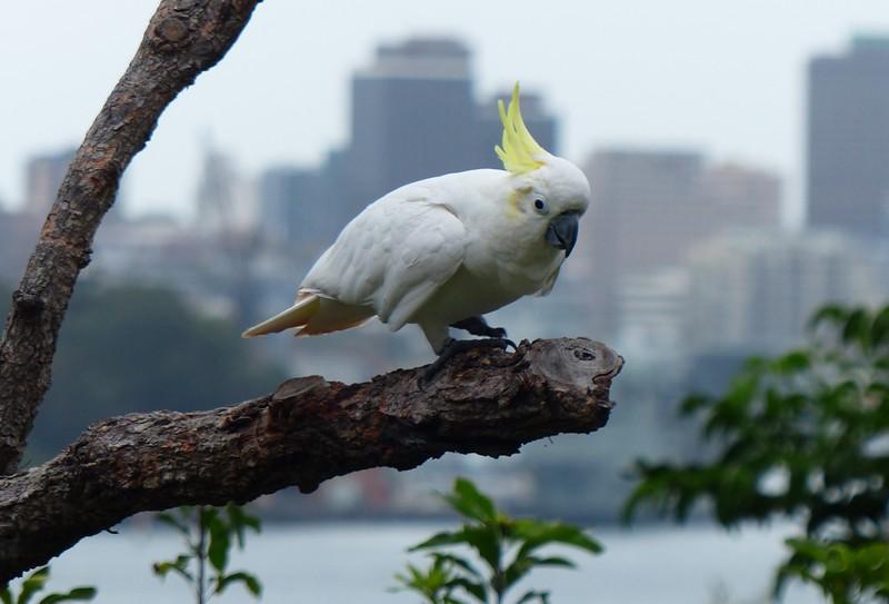 Sydney - Taronga Zoo - Cockatoo