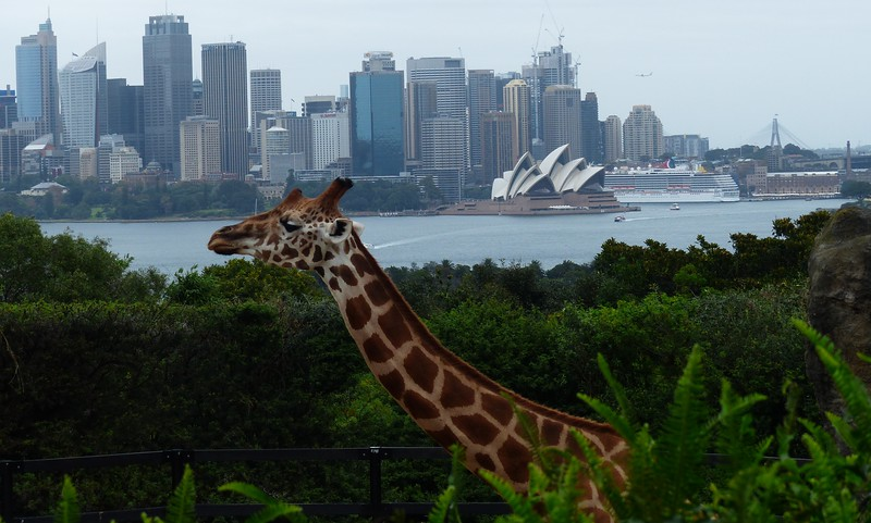 Sydney - Taronga Zoo - Giraffes have long necks so that they can enjoy the view.