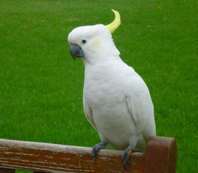 Sydney - Botanical Gardens - Cockatoo