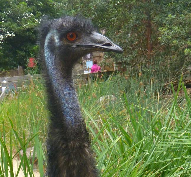 Sydney - Taronga Zoo  - Emu - this is one impressive bird!