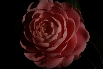 A close-up of a camellia flower from our front yard (Image taken by Sydney J. Kane on 02 Apr 2011 with Canon EOS DIGITAL REBEL XTi at ISO 100, f14.0, 1/400 sec and 44mm)
