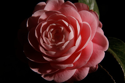 A close-up of a camellia flower from our front yard (Image taken by Sydney J. Kane on 02 Apr 2011 with Canon EOS DIGITAL REBEL XTi at ISO 100, f14.0, 1/400 sec and 48mm)