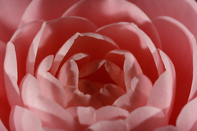 A close-up of a camellia flower from our front yard (Image taken by Sydney J. Kane on 02 Apr 2011 with Canon EOS DIGITAL REBEL XTi at ISO 100, f8.0, 1/500 sec and 150mm)