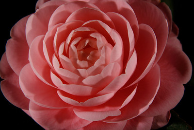 A close-up of a camellia flower from our front yard (Image taken by Sydney J. Kane on 02 Apr 2011 with Canon EOS DIGITAL REBEL XTi at ISO 100, f14.0, 1/400 sec and 70mm)