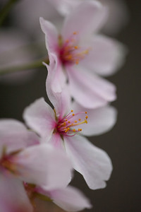 This year's National Cherry Blossom Festival honors the 100-year anniversary of the gift of trees (Image taken by Sydney J. Kane on 24 Mar 2012 with Canon EOS 5D at ISO 640, f2.8, 1/100 sec and 150mm)