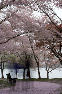 This year's National Cherry Blossom Festival honors the 100-year anniversary of the gift of trees (Image taken by Sydney J. Kane on 24 Mar 2012 with Canon EOS 5D at ISO 200, f32.0, 1/3.2 sec and 100mm)