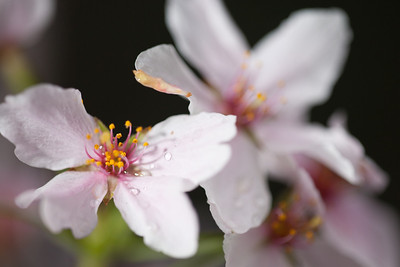 This year's National Cherry Blossom Festival honors the 100-year anniversary of the gift of trees (Image taken by Sydney J. Kane on 24 Mar 2012 with Canon EOS 5D at ISO 200, f2.8, 1/30 sec and 150mm)