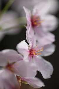 This year's National Cherry Blossom Festival honors the 100-year anniversary of the gift of trees (Image taken by Sydney J. Kane on 24 Mar 2012 with Canon EOS 5D at ISO 640, f2.8, 1/125 sec and 150mm)