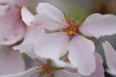 This year's National Cherry Blossom Festival honors the 100-year anniversary of the gift of trees (Image taken by Sydney J. Kane on 24 Mar 2012 with Canon EOS 5D at ISO 200, f2.8, 1/15 sec and 150mm)