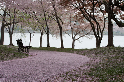 This year's National Cherry Blossom Festival honors the 100-year anniversary of the gift of trees (Image taken by Sydney J. Kane on 24 Mar 2012 with Canon EOS 5D at ISO 200, f32.0, 1/4 sec and 100mm)