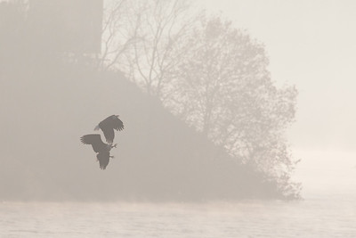 A bald eagle at Conowingo Dam (Image taken by Sydney J. Kane on 21 Nov 2012 with Canon EOS 5D Mark II at ISO 800, f5.6, 1/8000 sec and 420mm)