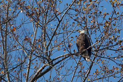 A bald eagle at Conowingo Dam (Image taken by Sydney J. Kane on 21 Nov 2012 with Canon EOS 5D Mark II at ISO 400, f5.6, 1/1600 sec and 420mm)