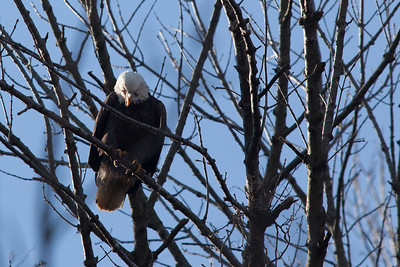 A bald eagle at Conowingo Dam (Image taken by Sydney J. Kane on 21 Nov 2012 with Canon EOS 5D Mark II at ISO 400, f5.6, 1/2000 sec and 420mm)