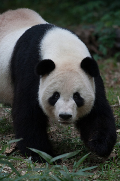 Tian Tian, the male giant panda at the National Zoo. (Image taken by Sydney J. Kane on 01 Sep 2012 with Canon EOS 5D at ISO 800, f2.8, 1/1000 sec and 300mm)