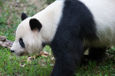 Tian Tian, the male giant panda at the National Zoo. (Image taken by Sydney J. Kane on 01 Sep 2012 with Canon EOS 5D at ISO 800, f2.8, 1/400 sec and 300mm)