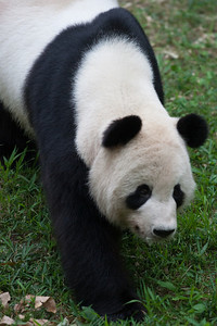 Tian Tian, the male giant panda at the National Zoo. (Image taken by Sydney J. Kane on 01 Sep 2012 with Canon EOS 5D at ISO 800, f2.8, 1/800 sec and 300mm)