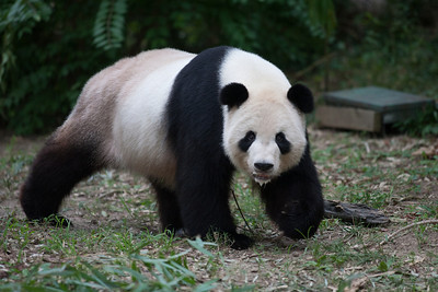 Tian Tian, the male giant panda at the National Zoo. (Image taken by Sydney J. Kane on 01 Sep 2012 with Canon EOS 5D at ISO 800, f2.8, 1/640 sec and 300mm)
