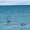 11  pelicans eye us curiously