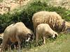 16  grazing sheep