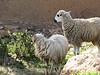 13  sheep