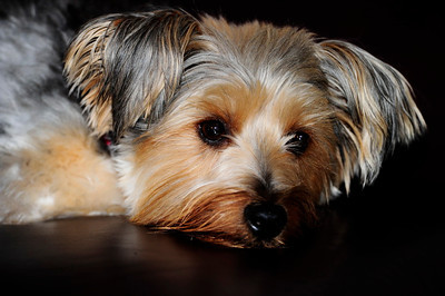 Tanner, Our Silky Terrier