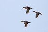 THEY COME IN THREES. Internationally listed as Vulnerable, Philippine Ducks Anas luzonica, the only endemic wild ducks the country has, fly in simple V-formation. Alain Pascua / Kaakbay sa Kalikasan, Philippine Wild Bird Photographers - Wild Bird of the Philippines