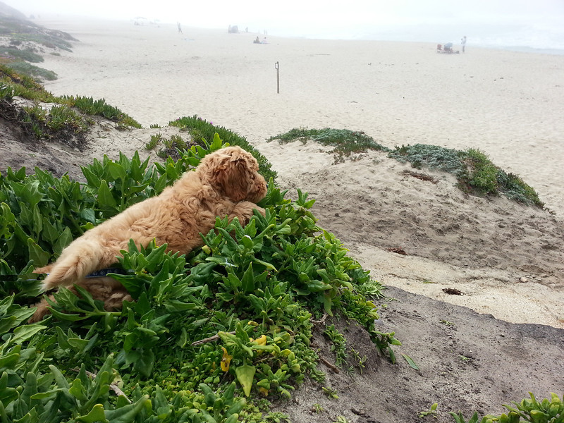 Teddy's beach overlook at Half Moon Bay campground.  He took his first camping trip at 9 weeks old.