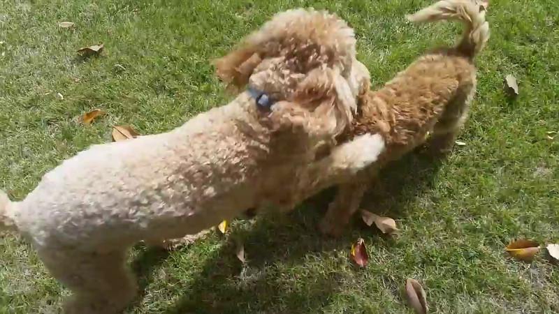 2014-05-19 Teddy playing with Shasta