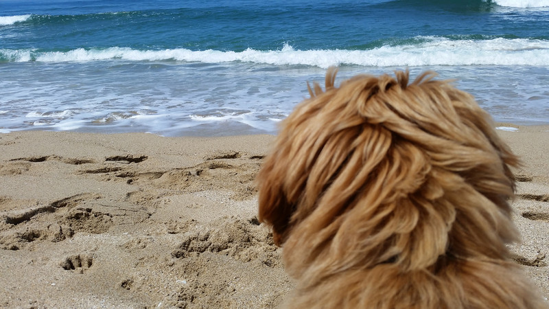 Back to the beach at 14 weeks old and still never turning his back on the waves
