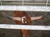 The little-known eye-less steer...quite a rare find.