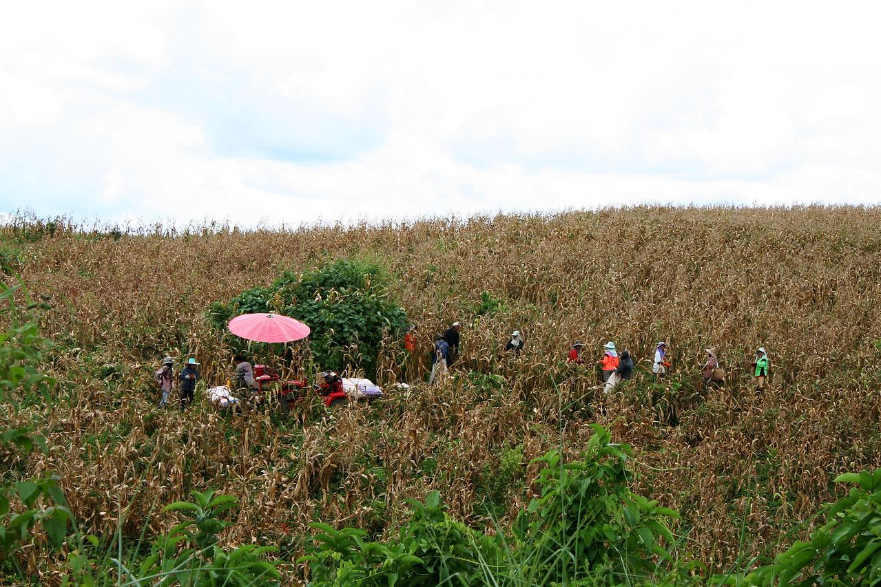 Harvesting corn in Ban Phudu (บ้านภูดู่)