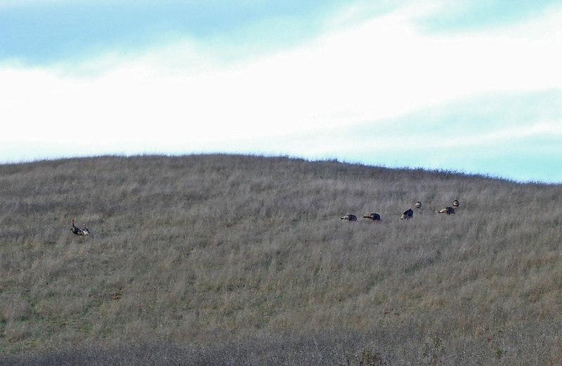 B ig, wild ducks on the hill, 11-25-06