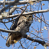 Once again, the neighborhood crows helped me locate the pair of Great-horned Owls.
