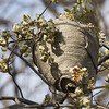 A very BIG nest (about the size of a basketball)HORNETS!