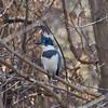 A cooperative and talkative Kingfisher.