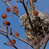 Nest with berries.