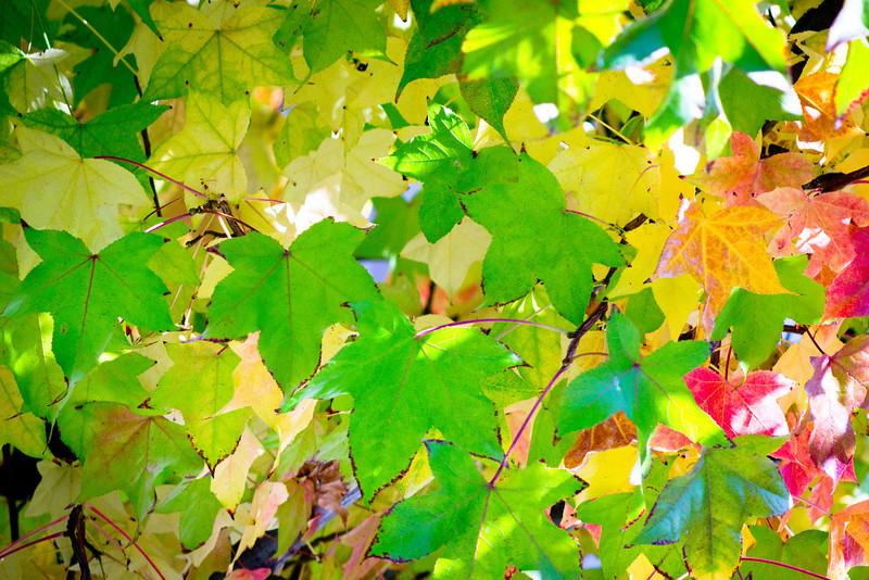 Autumn leaves in my neighborhood