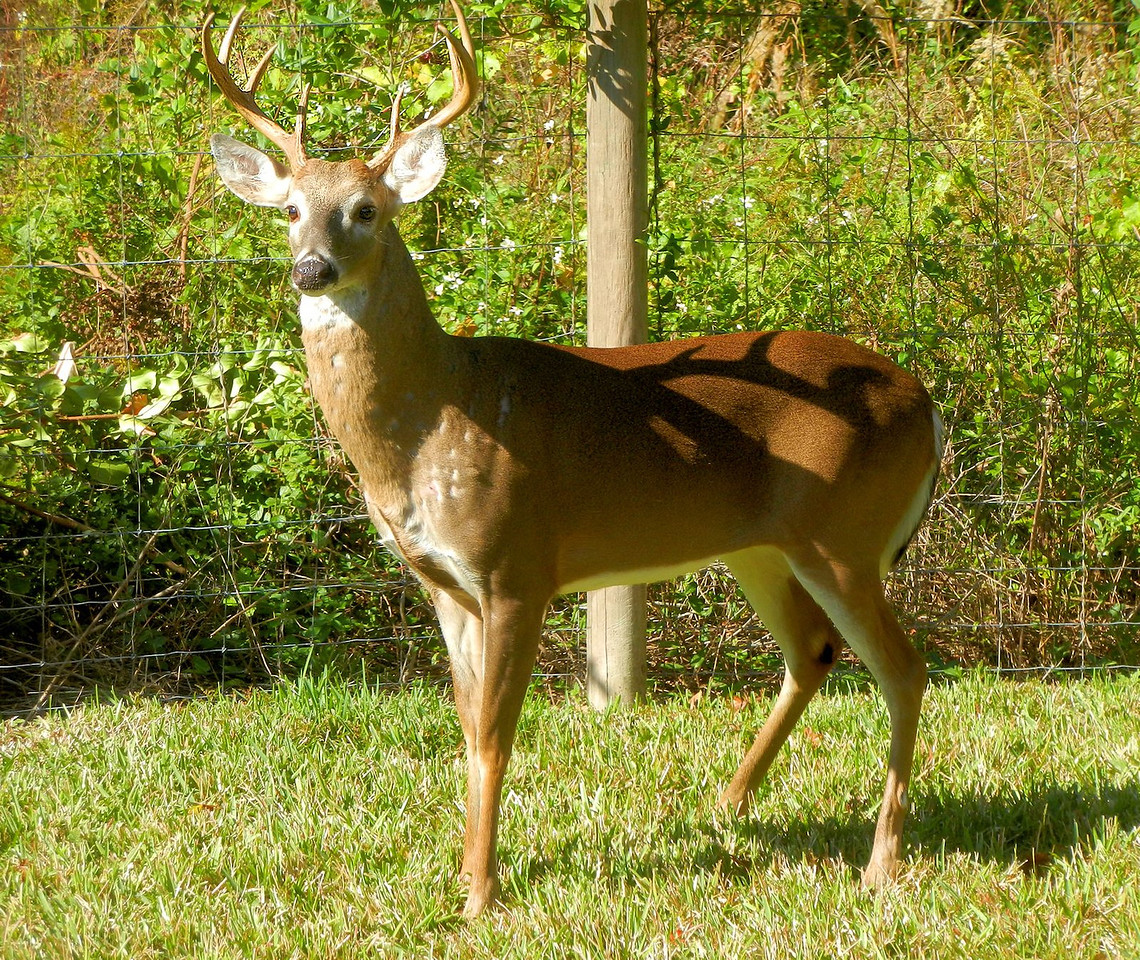 Deer that joined us for Thanksgiving. No, it's not a statue.