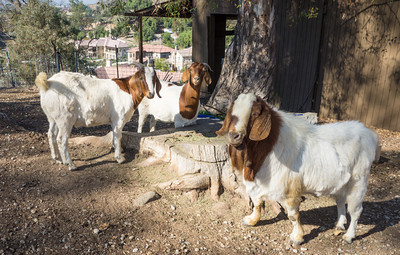 Animals: three goats, one pregnant