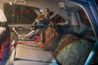 Scott and Corlis go out to look for an animal that will protect the goats from the coyotes and come back with a llama - in the back of a CRV!
