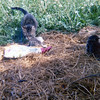 Missie the First and her kittens. We had no end of farm cats, and one year Soren put together a lengthy cat geneology.