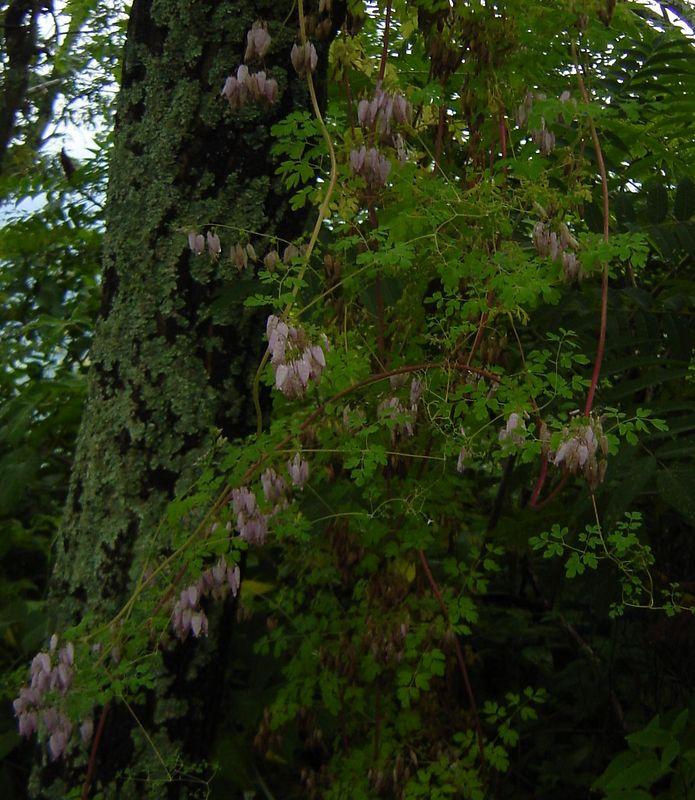 Climbing Fumitory (Adlumia fungosa)