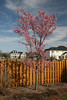 Our Okame cherry tree....the first thing that blooms in the yard -- in early April.
