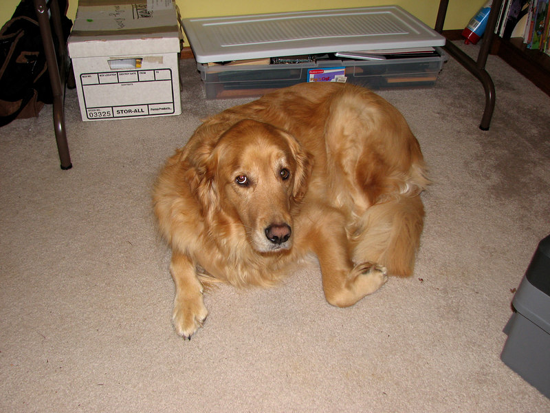 "Rusty, our first Golden Retriever.  ""Sir Russell of Cambria"".  2003-2011.  Not soon to be forgotten.   Keeping Casey company."